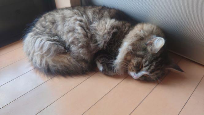 まったり昼寝する猫、ノルウェージャンフォレストキャットのトト