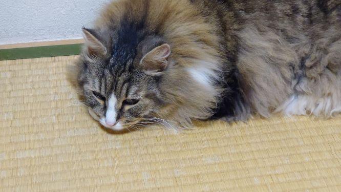 ふてくされている猫、ノルウェージャンフォレストキャットのトト