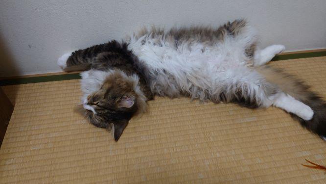 乱れた格好で寝る猫、ノルウェージャンフォレストキャットのトト