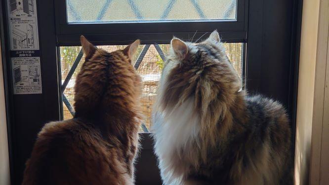 出待ちの猫、ノルウェージャンフォレストキャットのトトとソマリのチー
