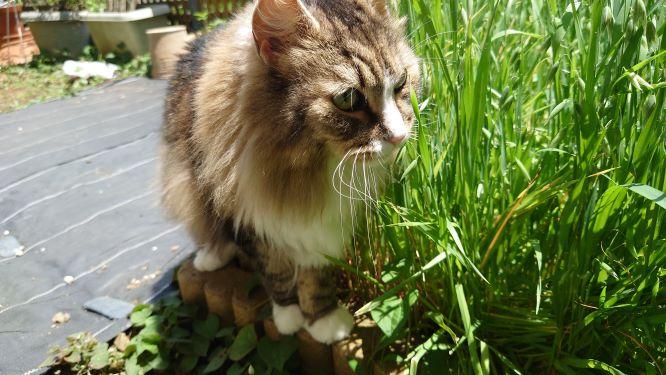猫草を食べる猫、ノルウェージャンフォレストキャットのトト