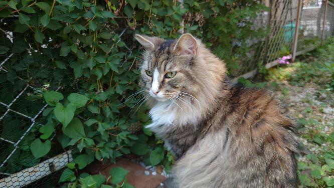 お隣のお庭もしっかりパトロール、ノルウェージャンフォレストキャットのトト