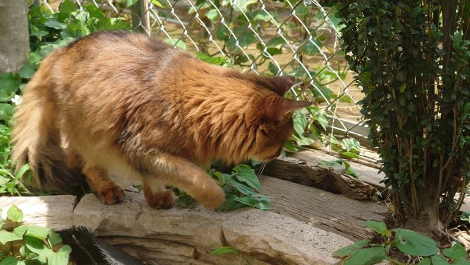 トカゲを狙う猫、ソマリのチー