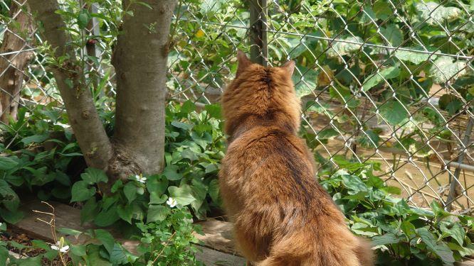 トカゲに逃げられた猫、ソマリのチー
