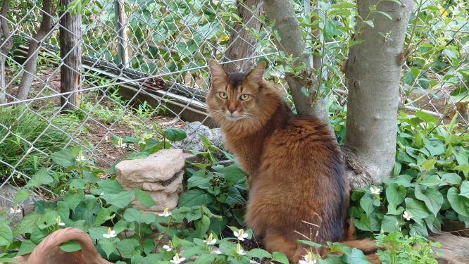 恨めしげにこちらを見る猫、ソマリのチー
