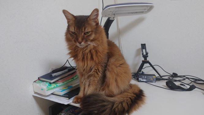 構ってほしい猫、ソマリのチー