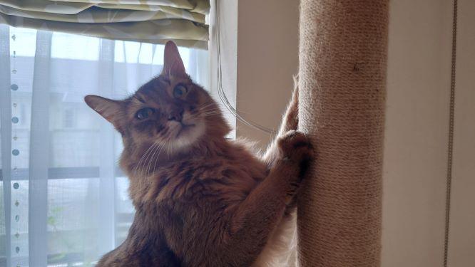 爪とぎする猫、ソマリのチー