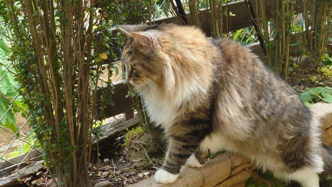 お庭を楽しむ猫、ノルウェージャンフォレストキャットのトト