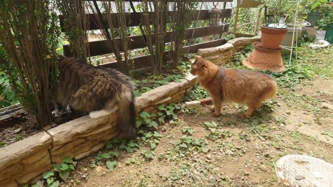 仲良しな猫、ノルウェージャンフォレストキャットのトトとソマリのチー