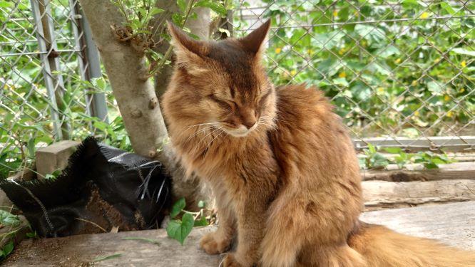 散歩を楽しむ猫、ソマリのチー