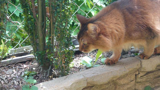 ダンゴムシを眺める猫、ソマリのチー