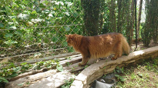 トカゲに狙いをつける猫、ソマリのチー