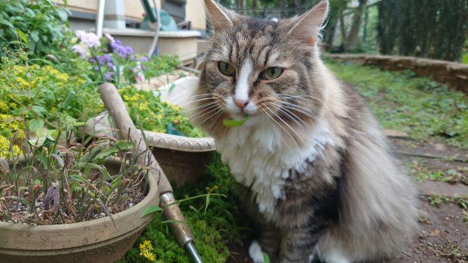 雑草を食べる猫、ノルウェージャンフォレストキャットのトト