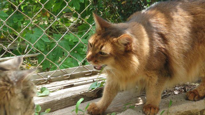怒る猫、ソマリのチー