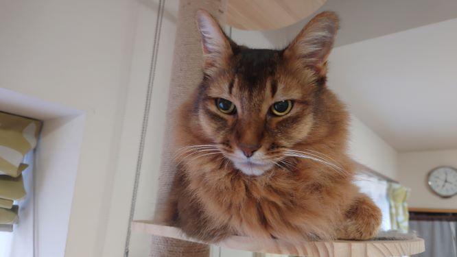 暇そうな猫、ソマリのチー