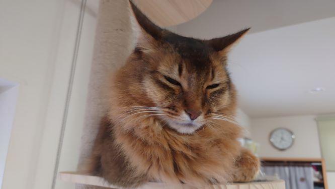 キャットタワーで寝る猫、ソマリのチー