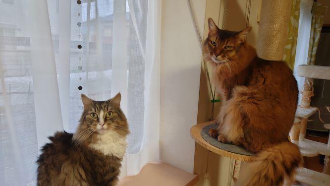 冷たい視線を送る猫、ノルウェージャンフォレストキャットのトトとソマリのチー
