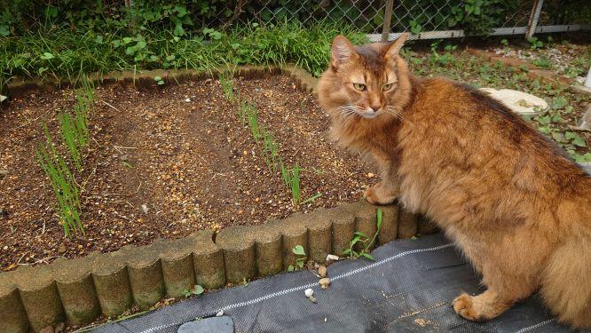 猫草を食べる猫、ソマリのチー
