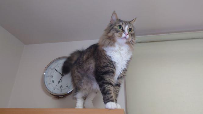本棚の上に登った猫ノルウェージャンフォレストキャット