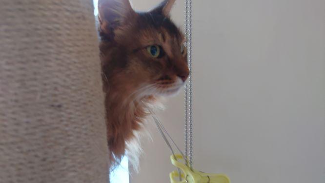 キャットタワーから見守る猫ソマリ2