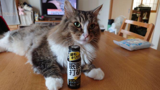 眠眠打破で眠気も吹っ飛んだ猫、ノルウェージャンフォレストキャットのトト