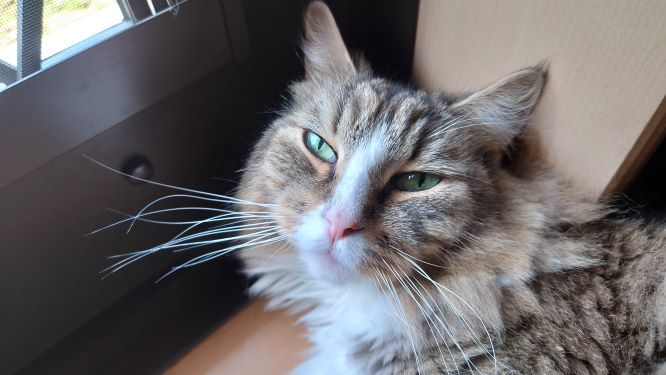 出待ち状態の猫、ノルウェージャンフォレストキャットのトト