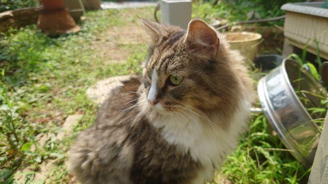 暑い中庭の見回りをする猫、ノルウェージャンフォレストキャットのトト