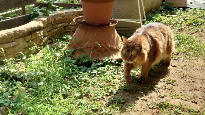 見回りをする猫、ソマリのチー