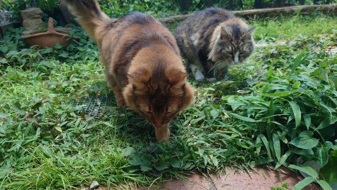 トカゲを探索する猫、ソマリとノルウェージャンフォレストキャット