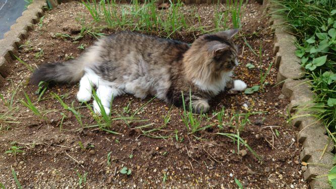 寝ながら猫草を食べる猫、ノルウェージャンフォレストキャットのトト