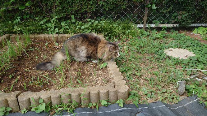 トカゲに狙いを定める猫、ノルウェージャンフォレストキャットのトト
