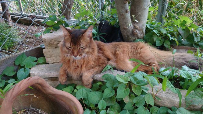散歩に満足した猫、ソマリのチー