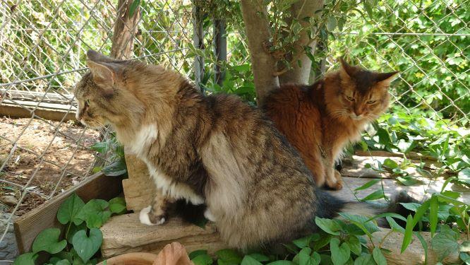 日陰でくつろぐ猫、トトとチー