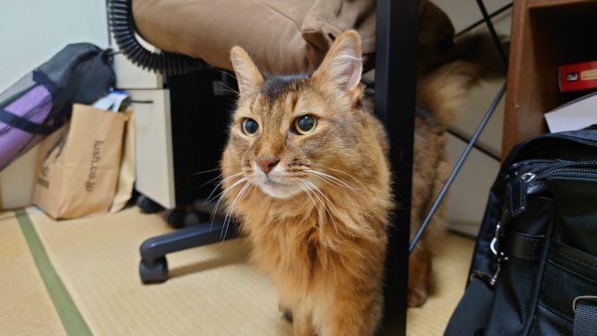 外に出れずに退屈している猫、ソマリのチー