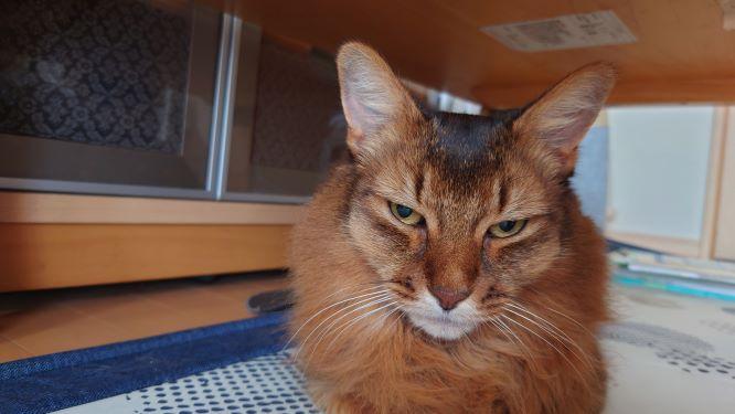 目が据わっている猫、ソマリのチー