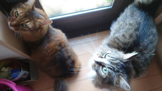 12時になると外に出せアピールをする猫、トトとチー