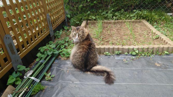 猫草を食べに行く猫、ノルウェージャンフォレストキャットのトト