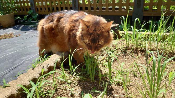 猫草を食べている猫、ソマリのチー