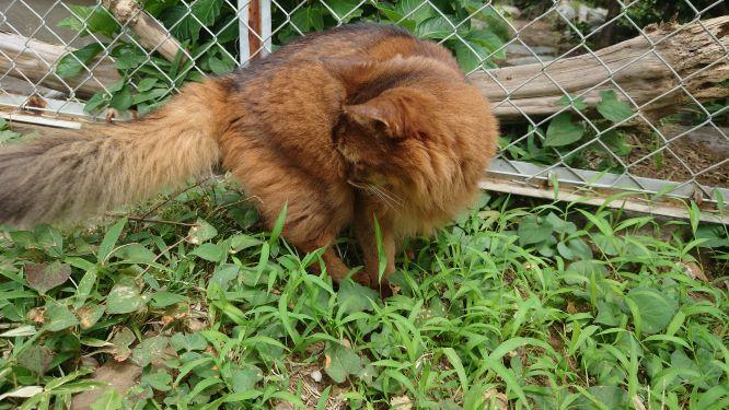 トカゲを追いかけまわす猫、ソマリのチー