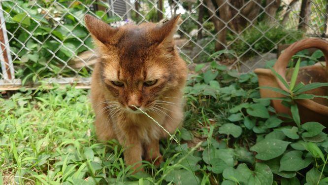 葉っぱが気になる猫、ソマリのチー
