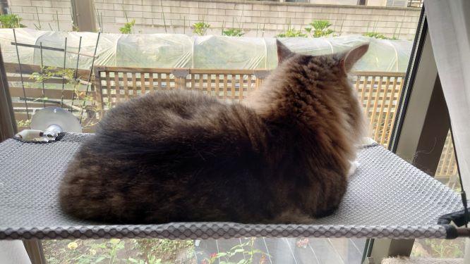 猫窓ハンモックで寝る猫、ノルウェージャンフォレストキャットのトト