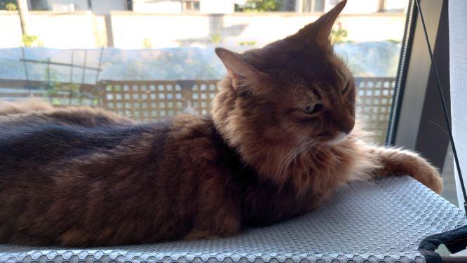 猫ハンモックで寝る猫、ソマリのチー