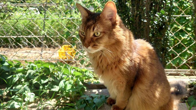 警戒を怠らない猫、ソマリのチー
