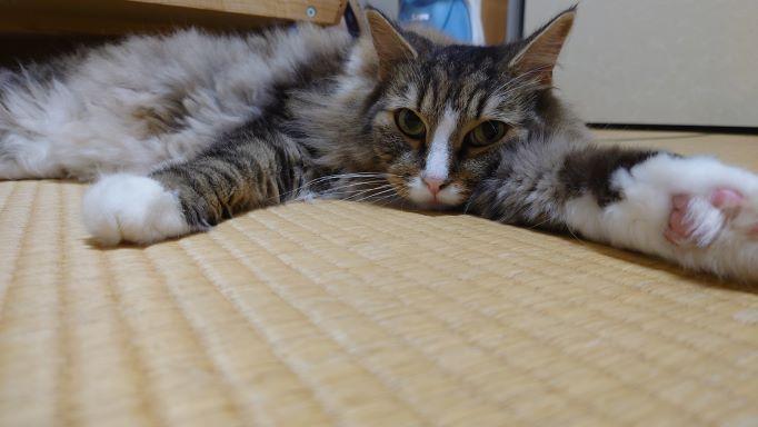 グテグテする猫、ノルウェージャンフォレストキャットのトト