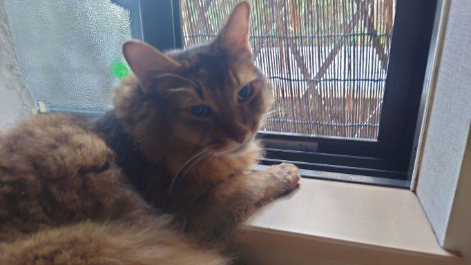 お外が恋しい猫、ソマリのチー