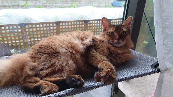 猫窓ハンモックでくつろぐ猫、ソマリのチー