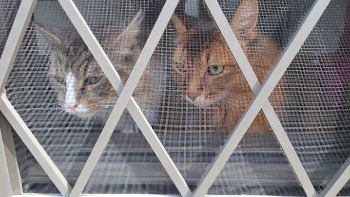 外に出せとせがむ猫、ノルウェージャンフォレストキャットのトトとソマリのチー
