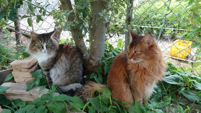お散歩を満喫する猫 ノルウェージャンフォレストキャットのトトとソマリのチー