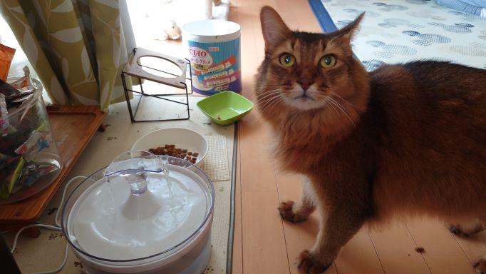 給水機から水を飲む猫 ソマリのチー