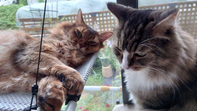 猫窓ハンモックに乗りたい猫、ノルウェージャンフォレストキャットのトト